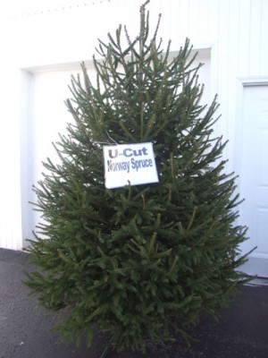 XmasTree_NorwaySpruce_WEB