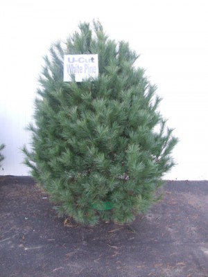 XmasTree_WhitePine_WEB